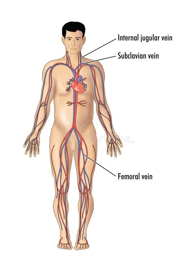 中心线的插入主要血管 库存例证