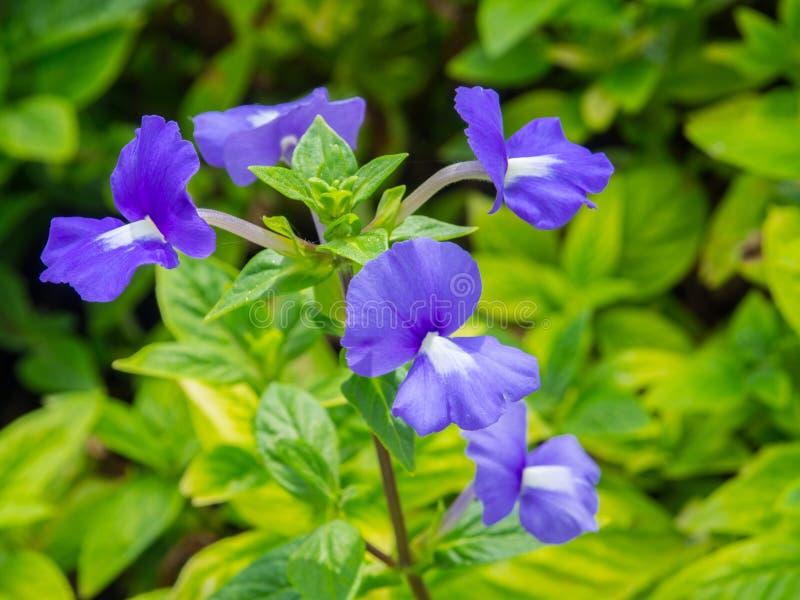 中提琴sororia,共同地已知作为共同的蓝色紫罗兰,是一棵短被抽去的草本四季不断的植物 免版税库存照片