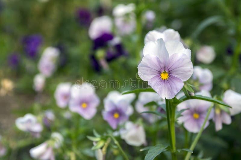 中提琴wittrockiana在绽放,淡色的庭院蝴蝶花 库存图片