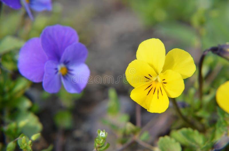 中提琴或蝴蝶花特写镜头在庭院里 库存照片