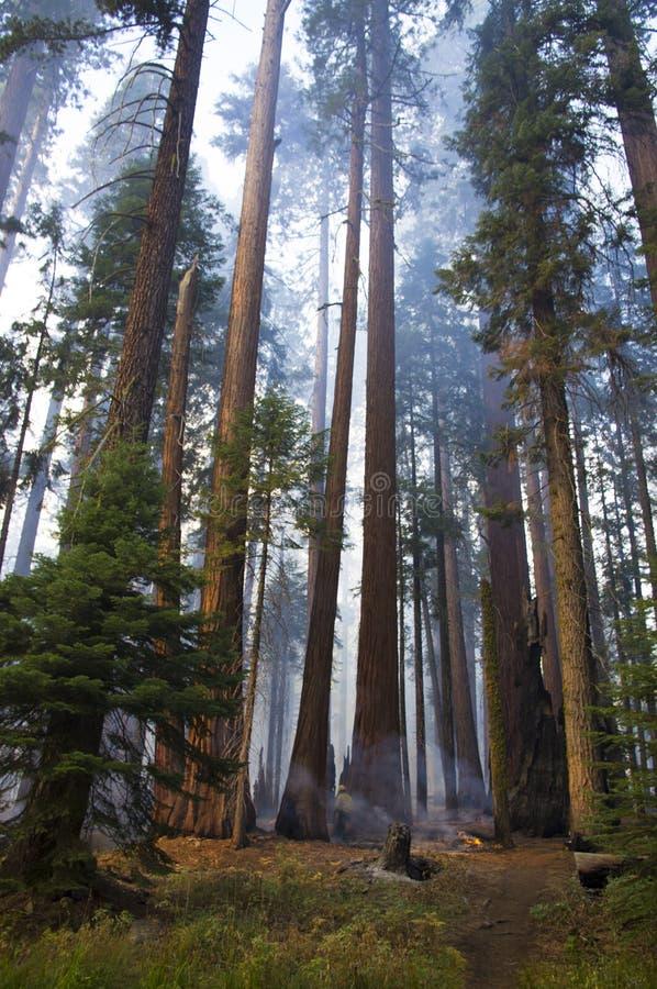 中等火在红杉国家公园 免版税图库摄影