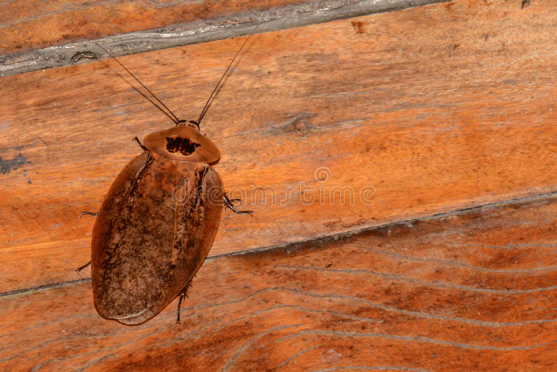 中美洲巨型洞蟑螂 免版税库存照片