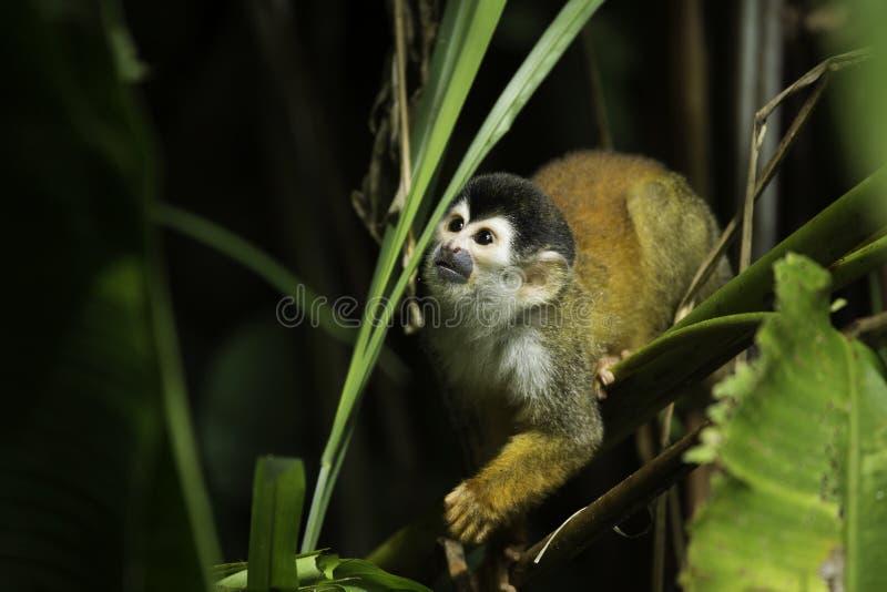 中美洲松鼠猴子(松鼠猴属oerstedii) 库存图片