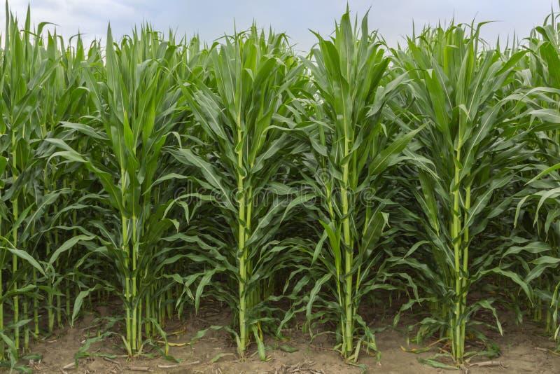 中西部的美国领域玉米 免版税库存照片