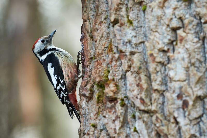中部被察觉的啄木鸟, Dendrocopos medius 免版税库存图片
