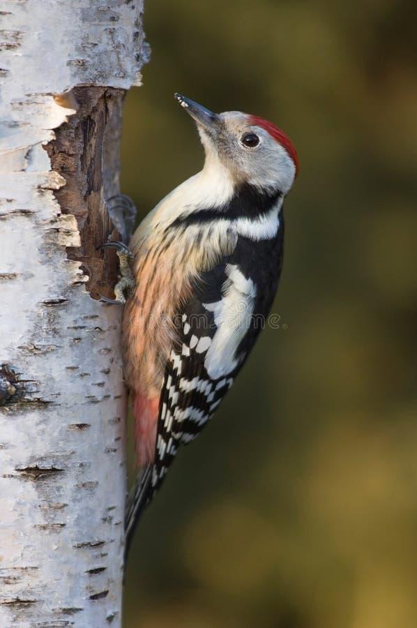 中间被察觉的啄木鸟 免版税库存图片