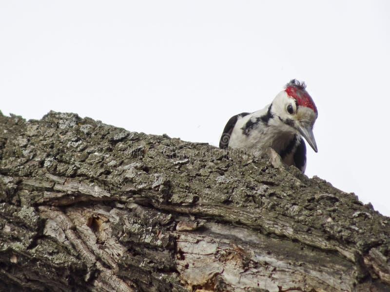 中间被察觉的啄木鸟Dendrocoptes medius坐一个分支在森林 免版税库存图片