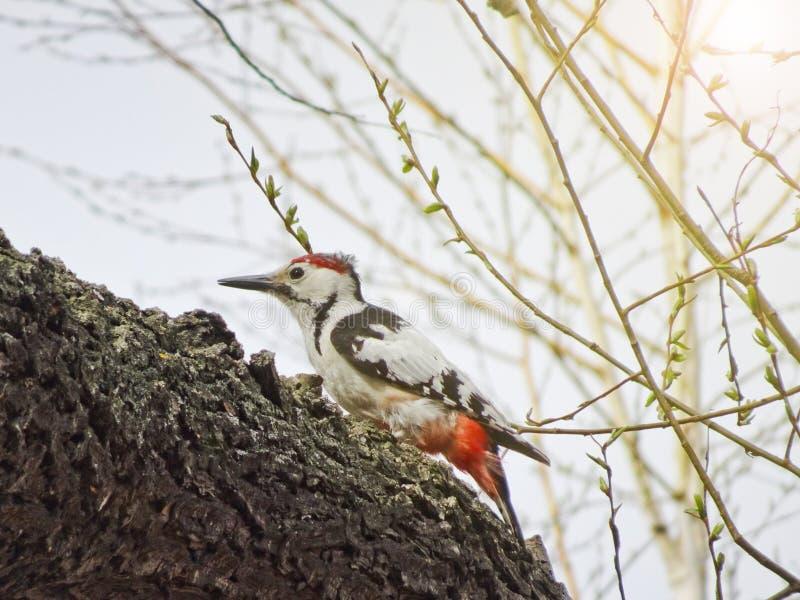 中间被察觉的啄木鸟Dendrocoptes medius坐一个分支在森林 图库摄影