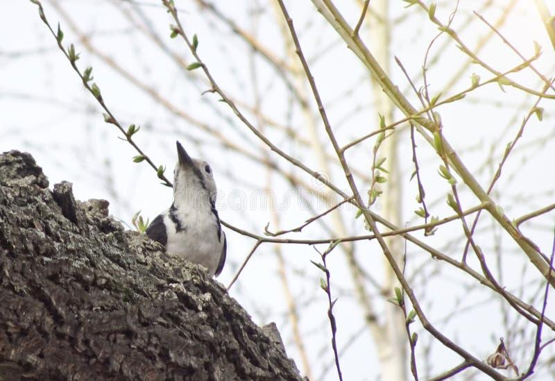 中间被察觉的啄木鸟Dendrocoptes medius坐一个分支在森林 库存图片