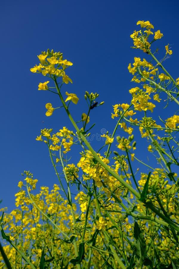 丰富地油菜籽花在比利时 图库摄影