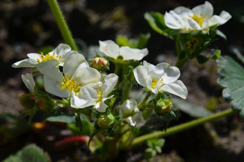 丰富的开花的草莓好品种 库存图片