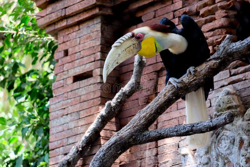 丰希罗拉, ANDALUCIA/SPAIN - 7月4日:红眼睛的Papuan犀鸟 库存照片