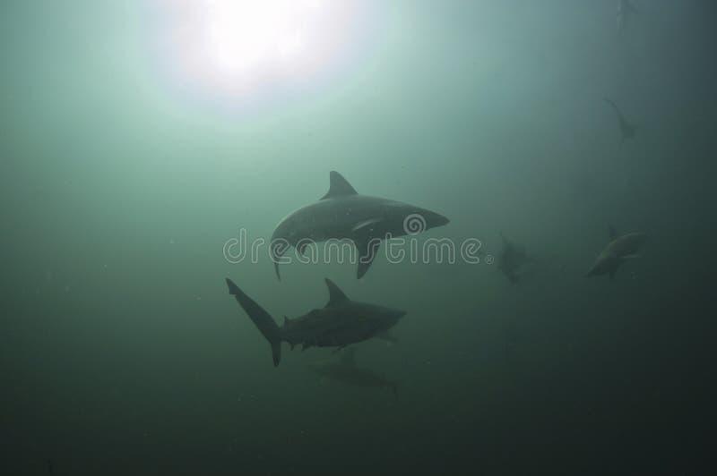 丰盛鲨鱼 图库摄影