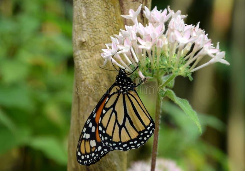 丹尼亚斯plexippus蝴蝶用桔子和黑色仿造了翼,在白花 库存照片