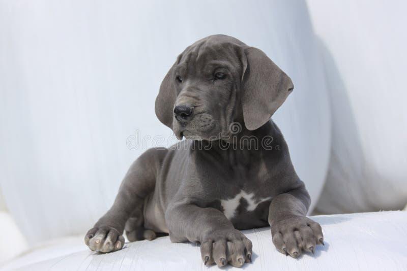 丹麦人极大的小狗 免版税图库摄影