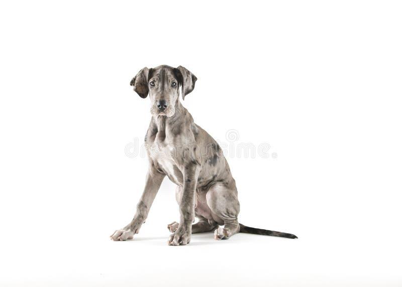 丹麦种大狗小狗在演播室 库存图片