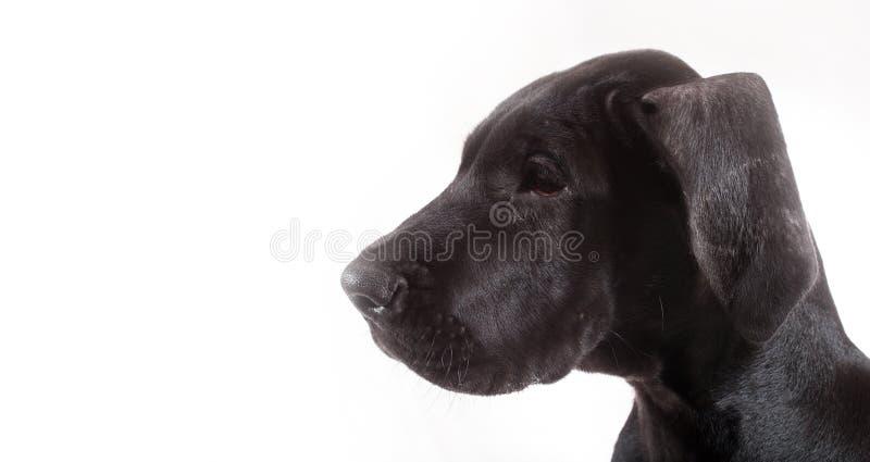 丹麦种大狗小狗 免版税库存图片