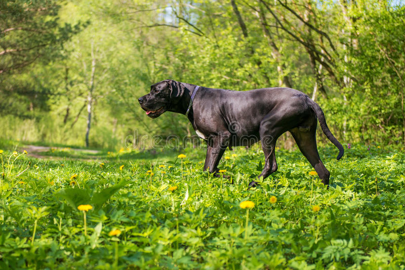 丹麦种大狗狗在森林里 图库摄影