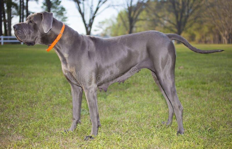 丹麦种大狗纯血统的动物 免版税库存图片