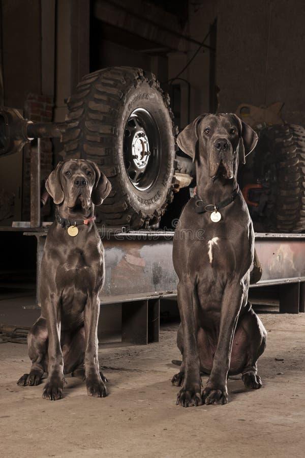 丹麦种大狗 免版税库存照片