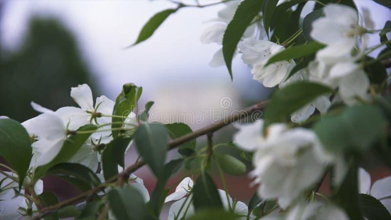 为在分支的白色苹果花蕾关闭  储蓄英尺长度 开花的雪白苹果树在城市在春天 库存照片