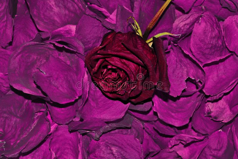 为巴恩烘干的深红玫瑰花瓣,茶,皮肤,油注入 图库摄影
