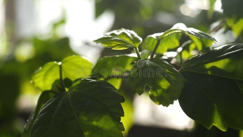 为浇灌自温室的绿色植物关闭  下跌在绿色叶子的水下落在菜园 免版税库存照片