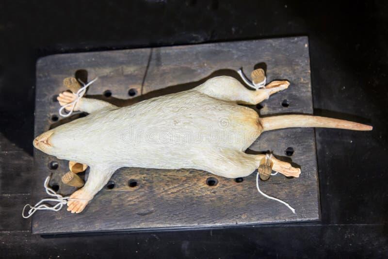 为研究栓的啮齿目动物模型 免版税图库摄影
