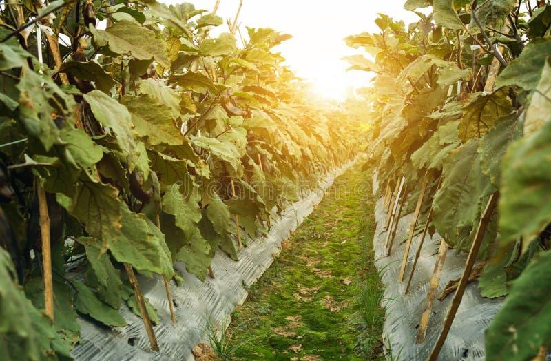 为种子存贮种植的茄子 日落的植物托儿所 免版税图库摄影