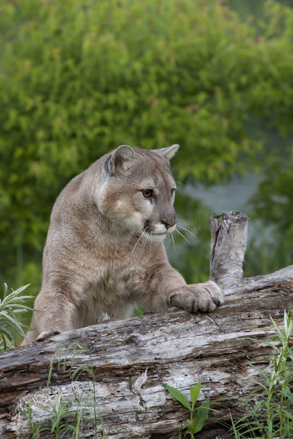 为行动保持平衡的美洲狮 库存照片