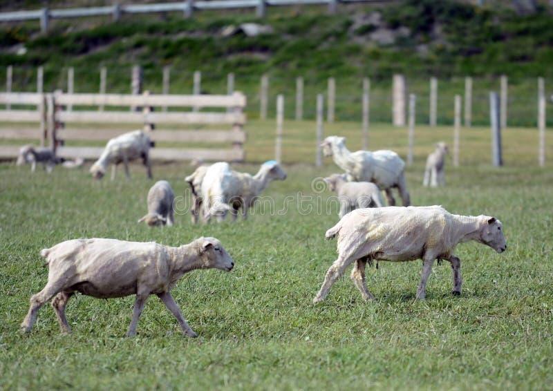 为绵羊吃草在喀麦隆村庄  del fuego tierra 免版税库存图片