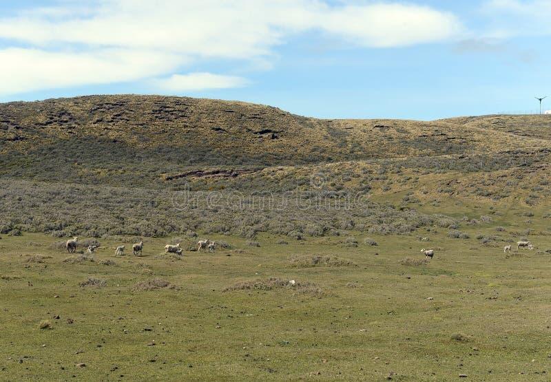 为绵羊吃草在喀麦隆村庄  del fuego tierra 库存照片