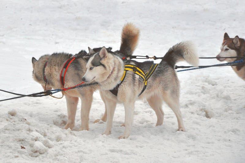 为sledding使用的美丽的多壳的狗的关闭 免版税库存照片