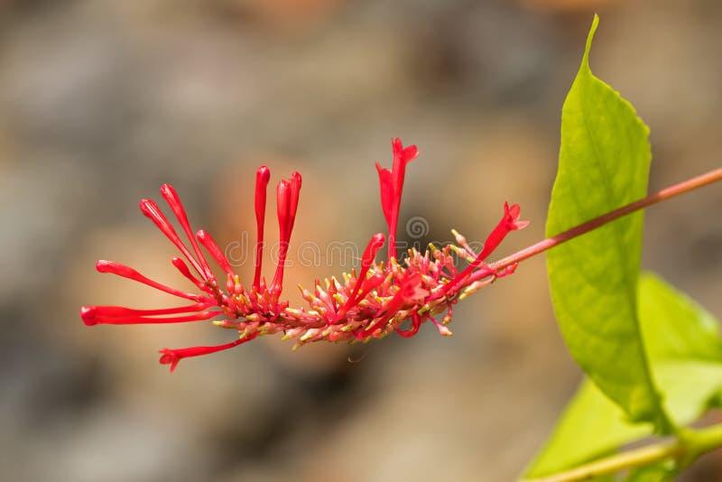 主教的冠,猩红色火钉,生长在热带区域的Firestick红色花  免版税库存图片