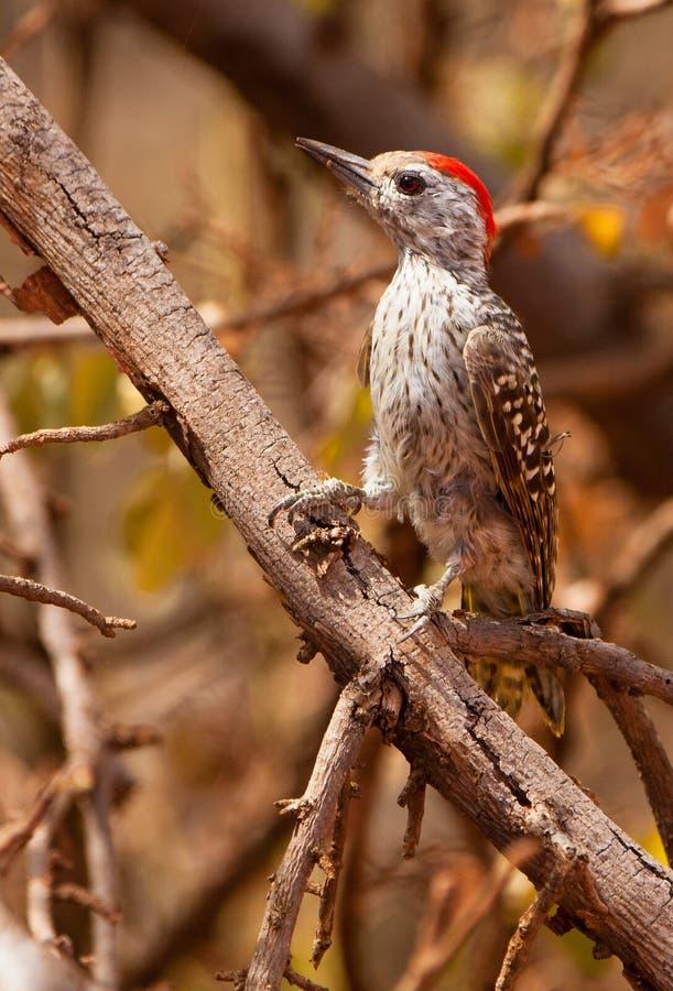 主要啄木鸟 免版税库存图片