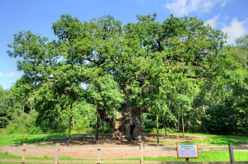 主要橡木,舍伍德森林,诺丁汉郡的储蓄图象 免版税库存图片