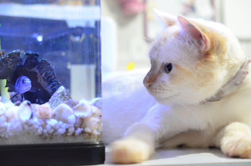 丽鱼科鱼鱼,科学名字:Pseudotropheus Demasoni 猫和鱼关闭 观看在水族馆里面的小猫鲑科 免版税图库摄影