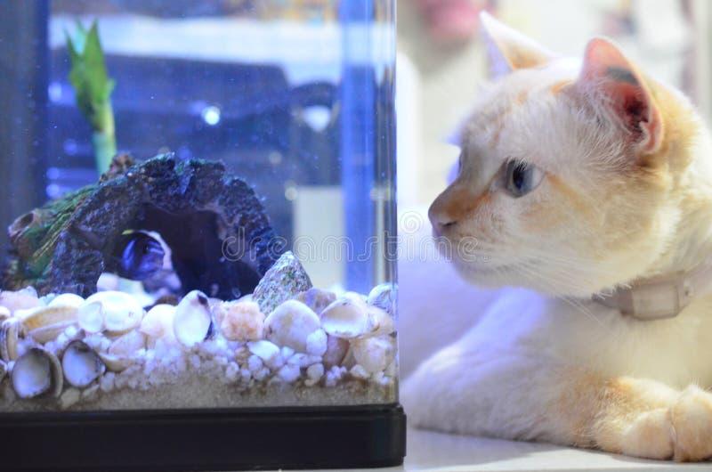 丽鱼科鱼鱼,科学名字:Pseudotropheus Demasoni 猫和鱼关闭 观看在水族馆里面的小猫鲑科 库存照片