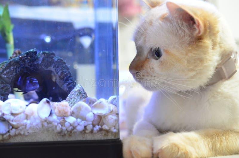丽鱼科鱼鱼,科学名字:Pseudotropheus Demasoni 猫和鱼关闭 观看在水族馆里面的小猫鲑科 免版税库存图片