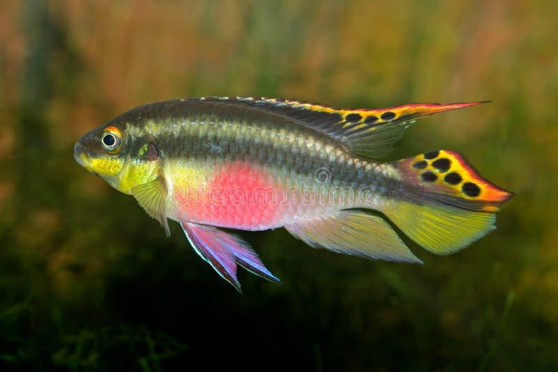 丽鱼科鱼kribensis紫色 免版税库存图片