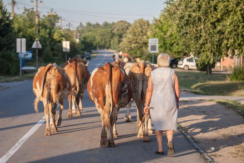 举办母牛的她的牧群在Dubovac街道,中央塞尔维亚的一个小农业村庄上的农民妇女 免版税库存图片