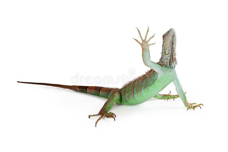 举手的鬣鳞蜥蜥蜴  图库摄影