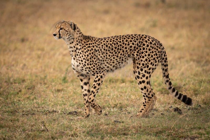举爪子的猎豹横跨草走 库存图片