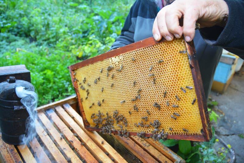 举行与蜂窝他的手框架的蜂农从蜂箱的与工作的蜂蜜蜂 关闭在养蜂业 库存照片