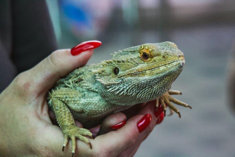 举行在手上的绿蜥蜴的特写镜头 库存照片