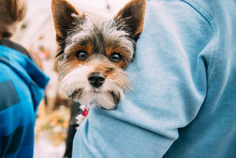 举行在手小滑稽的逗人喜爱的约克夏狗狗的人 免版税库存照片