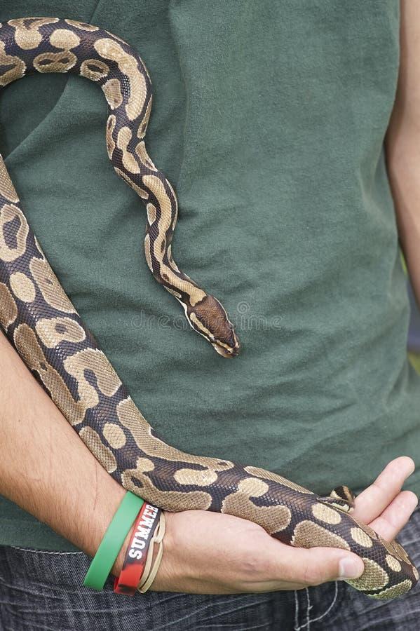 举行的缩窄器蛇 免版税图库摄影