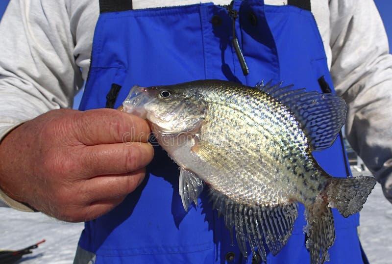 举行莓鲈翻车鱼冰渔的渔夫 库存照片