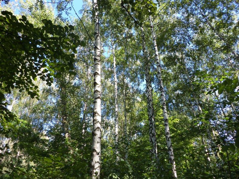 乌克兰桦树树丛 库存照片
