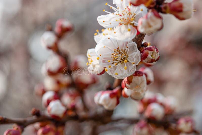 乌克兰第聂伯罗地区春园杏树花 免版税库存图片